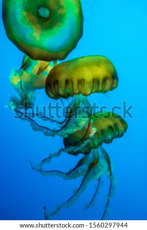 A colorful invertebrate jellyfish in a blue background underwater #1560297944