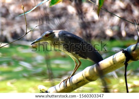 The striated heron (Butorides striata) also known as mangrove heron, little heron or green-backed heron. Striated herons are mostly non-migratory. Family: Ardeidae, Genus: Butorides #1560303347