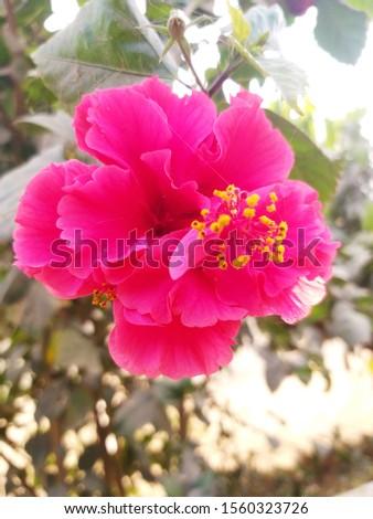Beautiful blooming hibiscus flowers | Hibiscus flowers blooming in the morning #1560323726