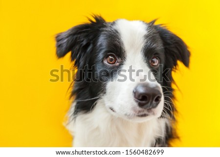Funny studio portrait of cute smilling puppy dog border collie isolated on yellow background. New lovely member of family little dog gazing and waiting for reward. Pet care and animals concept #1560482699