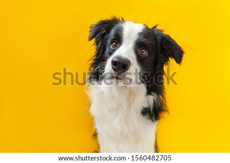 Funny studio portrait of cute smilling puppy dog border collie isolated on yellow background. New lovely member of family little dog gazing and waiting for reward. Pet care and animals concept #1560482705
