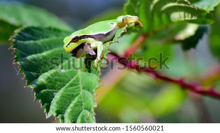 European tree frog (Hyla arborea) eating a damselfly #1560560021