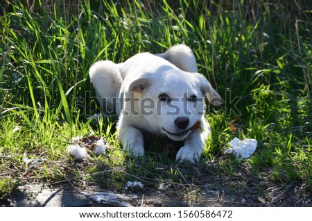homeless white dog (puppy) eating near the road. stray animal on the street #1560586472