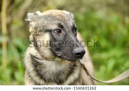 gray dog, ears up on a leash on the grass, scared, half-breed hound, cur, animals from the shelter #1560631262