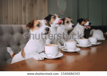 Four jack russell terriers sitting in front of cups in cafe Royalty-Free Stock Photo #1560686543
