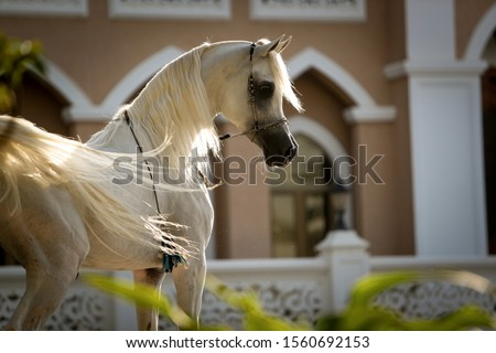 Handsome White Arabian horse stallion with a beautiful head, showing off in front of a female horse (mare) and Arabian architect designed building in the background. Royalty-Free Stock Photo #1560692153