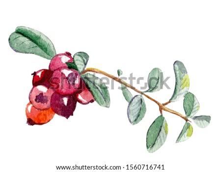 sprig of red cranberries useful berries #1560716741