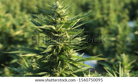 Large buds on hemp plants soon to be harvested for CBD oil production. Golden light on crop of cannabis plants in farm field. Commercial hemp production. Not marijuana. Natural health concept. #1560750095