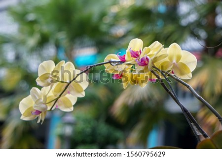Phalaenopsis orchid flower.Queen of orcid flowers in Indonesian in tropical garden