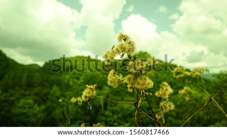 Tall meadow rue (Thalictrum pubescens), the king of the meadow or tall meadow-rue, is a plant in the buttercup family, Ranunculaceae #1560817466