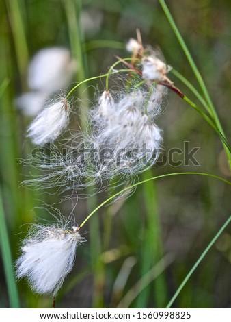 A macro of cottongrass (Eriophorum) plant with white fluffy seeds. Season: Summer 2019. Location: Western Siberian taiga. #1560998825