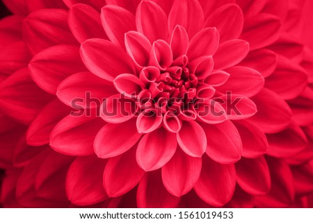 Defocused pink dahlia petals macro, floral abstract background. Close up of flower dahlia for background, Soft focus. #1561019453