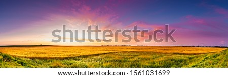 Panoramic sunrise over a Dakota Wheat field with blue and Magenta sky green grass and golden wheat #1561031699