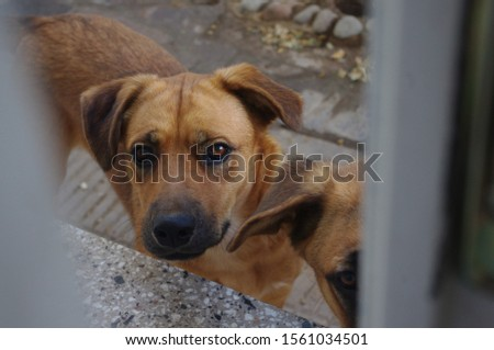 A golden brown dog looking to the camera through a window    #1561034501