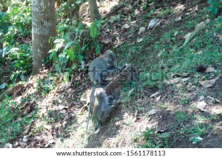 wild monkeys, monkeys out of the forest, monkeys looking for food #1561178113