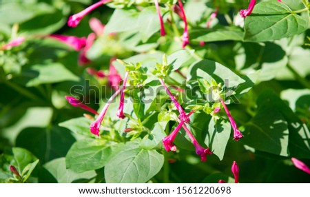 Mirabilis is a genus of plants in the family Nyctaginaceae known as the four-o'clocks or umbrellaworts. The best known species may be Mirabilis jalapa, the plant most commonly called four o'clock. Royalty-Free Stock Photo #1561220698
