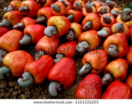 "Guava or cashew (Anacardium occidentale) is a type of plant from the Anacardiaceae tribe that originated in Brazil and has an edible ""fruit"". #1561226203"