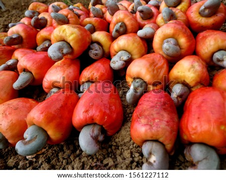 "Guava or cashew (Anacardium occidentale) is a type of plant from the Anacardiaceae tribe that originated in Brazil and has an edible ""fruit"". #1561227112"