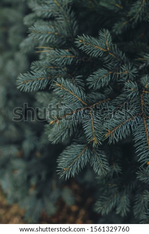 Spruce branch. Beautiful branch of spruce with needles. Christmas tree in nature. Green spruce. Spruce close up.  #1561329760