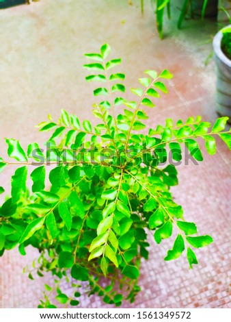 The beautiful picture of  curry leaf tree