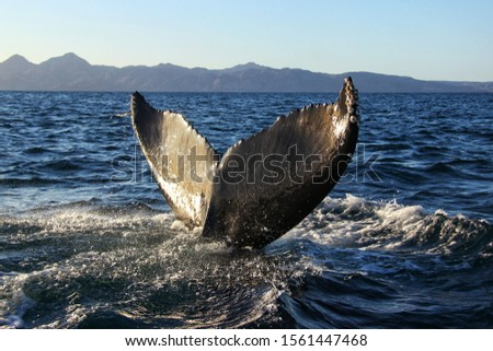 Blue whale tail in the blue water of Gulf of California, in Baja California, Mexico. Nature and wildlife photography, whale watching.