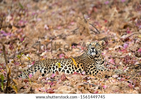 Leopard sitting on colourful flowers in the mid summer at Sasan Gir.   His watchful eyes make the picture more beautiful.