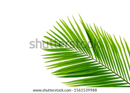 Concept texture leaves abstract green nature background tropical leaves coconut isolated on white background #1561539988