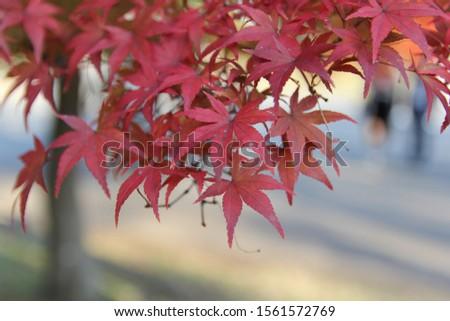 Japanese Momiji  Maple Leaves  #1561572769