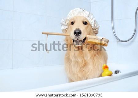 Golden retriever in a bathtub holding bath sponge in mouth #1561890793