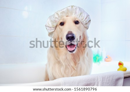 Pretty golden retriever in a bathtub #1561890796