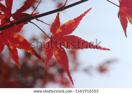 the red color maple in autumn #1561916503