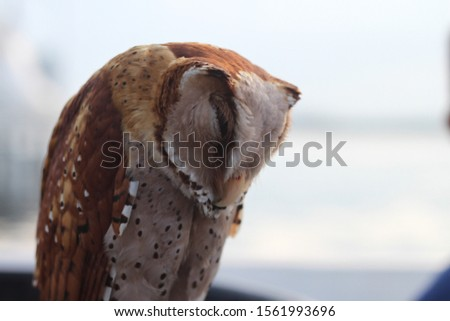A picture of brown barn owl sleeping with blurry sea view as the background.