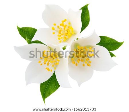 Jasmine branch isolated on white background #1562013703