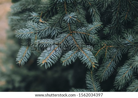 Spruce branch. Beautiful branch of spruce with needles. Christmas tree in nature. Green spruce. Spruce close up.  #1562034397