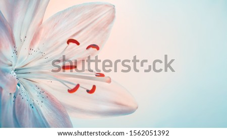 Closeup photo of a gentle white lily flower isolated on clear background, beautiful floral border with copy space, tender greeting card for wedding day