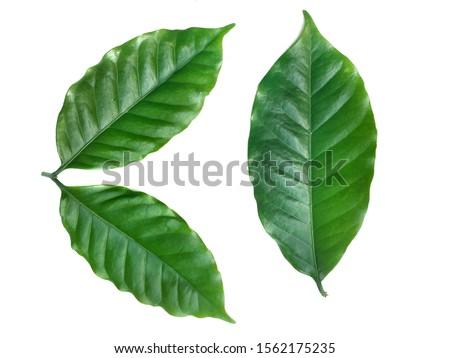Green coffee leaf on white background. #1562175235