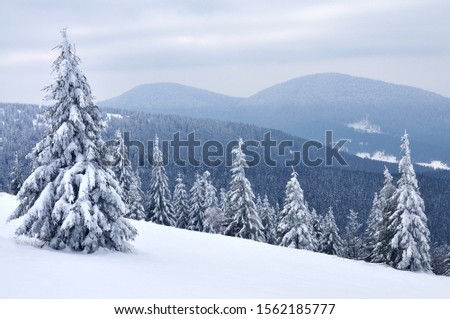Snow-covered tall spruce trees against a bright sky. Winter landscape, pine forest in the mountains #1562185777