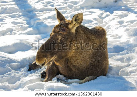 Hornless Elk resting in the fluffy snow. Coniferous forest in sunny frosty winter day. The concept of active, winter, eco and photo tourism