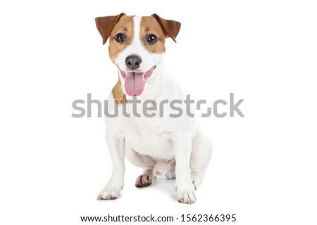 Beautiful Jack Russell Terrier dog isolated on white background Royalty-Free Stock Photo #1562366395
