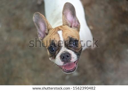 French Bulldog posing on cement floor #1562390482