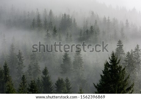 Fog above pine forests. Misty morning view in wet mountain area. Detail of dense pine forest in morning mist.  #1562396869