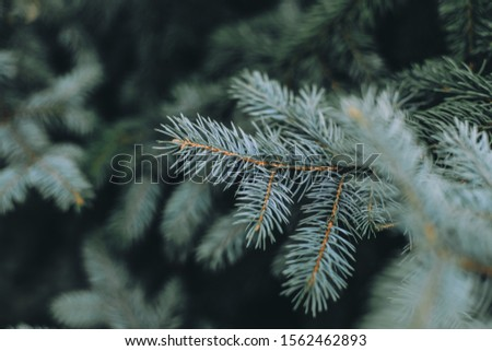 Spruce branch. Beautiful branch of spruce with needles. Christmas tree in nature. Green spruce. Spruce close up.  #1562462893