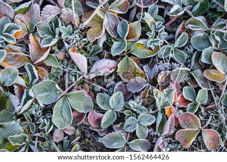 strawberry leaves covered with frost in the first autumn frosts, abstract natural background. green leaves of plants covered with frost, top view. Late autumn, the concept of frost #1562464426