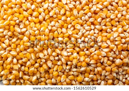 Raw Corn Seeds or Corn kernels are the fruits of corn. Maize is a grain, and the kernels are used in cooking as a vegetable or a source of starch. #1562610529