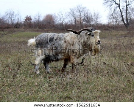 goat horns wool domestic animal #1562611654
