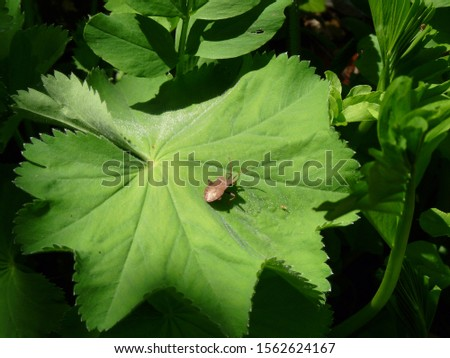 Brown Shield Bug, a Coreus Marginatus, resting on a vivid green Ladies Mantle leaf, in an English Garden. #1562624167