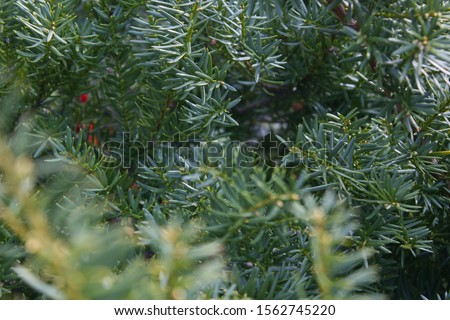 Taxus baccata close up. Green branches of yew tree(Taxus baccata, English yew, European yew). #1562745220
