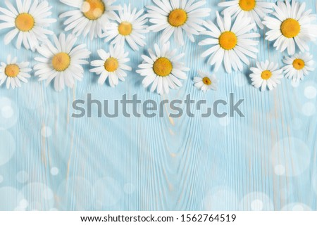 White camomiles on a blue wooden background. Beautiful spring composition, template for design with place for text