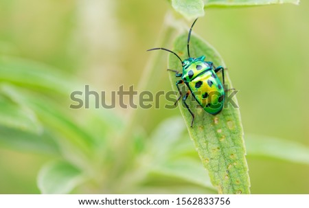 Scutelleridae is a family of true bugs. They are commonly known as jewel bugs or metallic shield bugs due to their often brilliant coloration. #1562833756