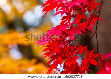 beautiful autumn leaf colors in japan,samurai house #1562837719